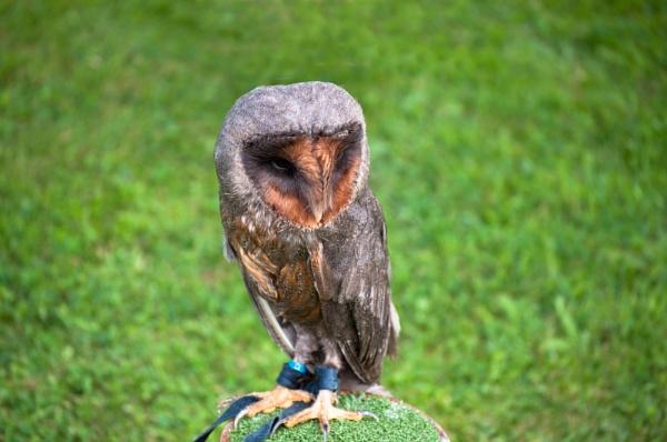 Barn owl by macc1