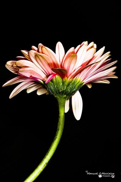 Pink daisy... by ManCorMac