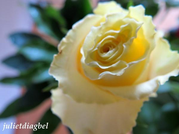 yellow rose by venus12