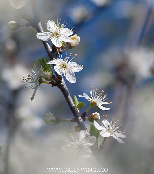 Blossom by mattberry