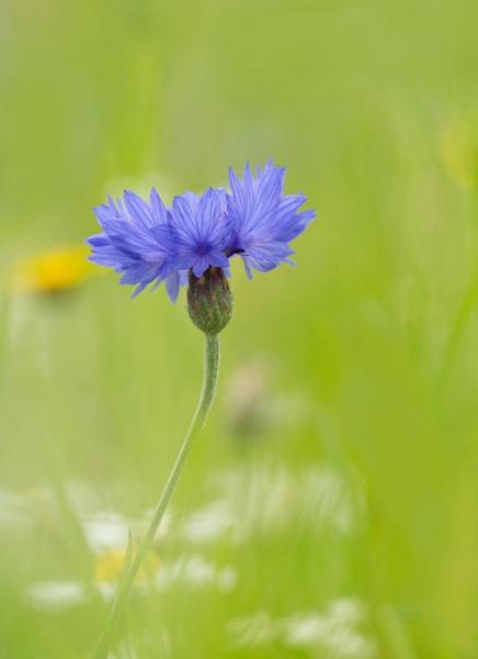 Cornflower... by Greyheron