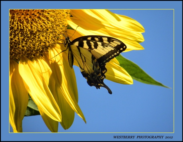 TIGER SWALLOWTAIL, SUNFLOWER AND BLUE SKY . . . by PattiW