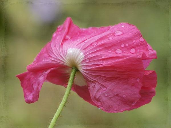 Wet & Windswept Pink Poppy by JenniCh