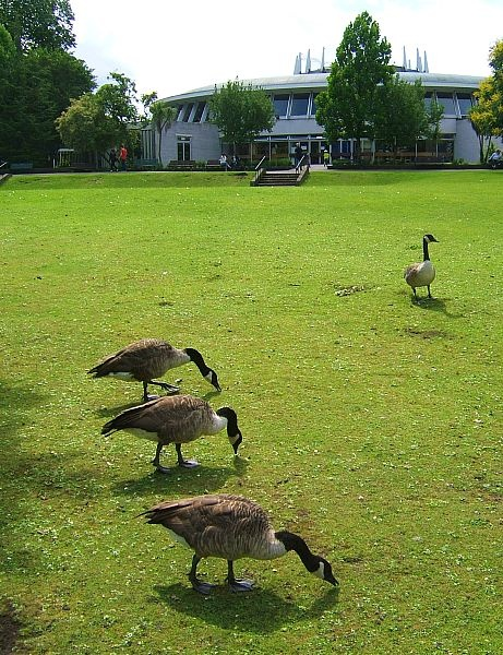 Geese grazing by nytecam