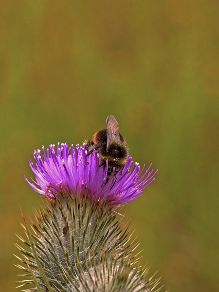 Red Tail Bumblebee by skewey