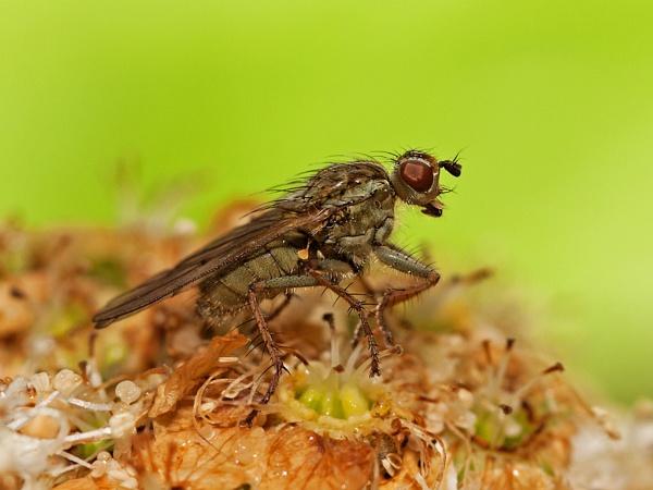 Empid Fly by skewey