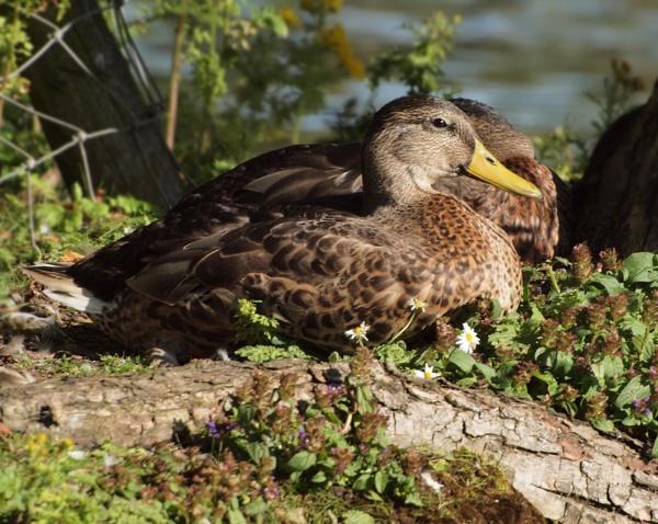 Close Up Duck by chensuriashi