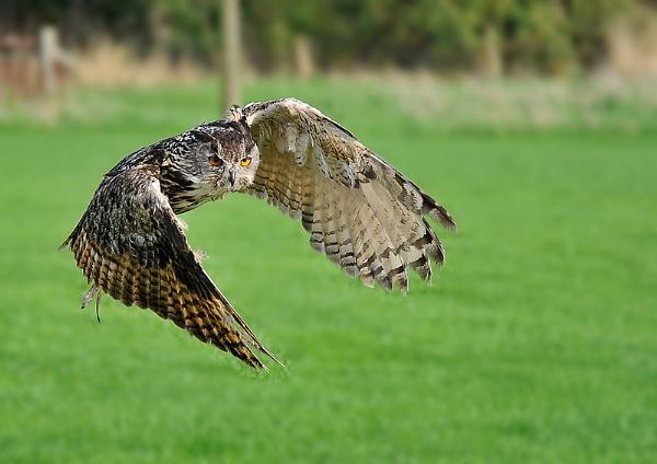 Eagle-Owl by koiboy