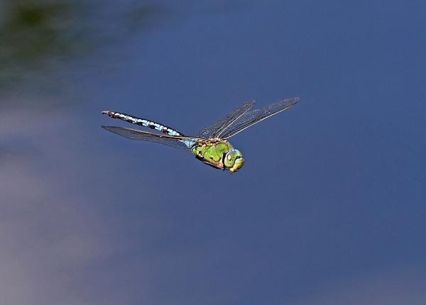 Gliding Emperor by lawbert