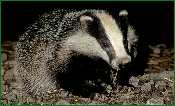 Badger Foraging 05. by Badgerfred