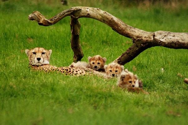 Cheetah Cubs and mum by jgmford