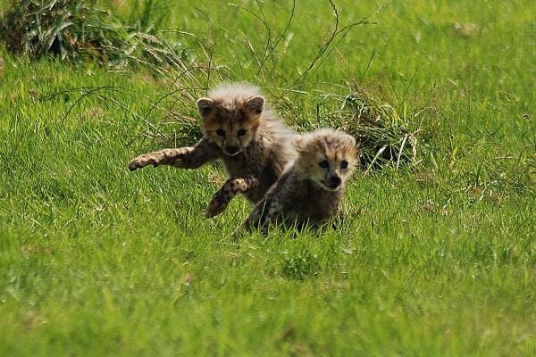 Cheetah CubÂ's at play. by jgmford