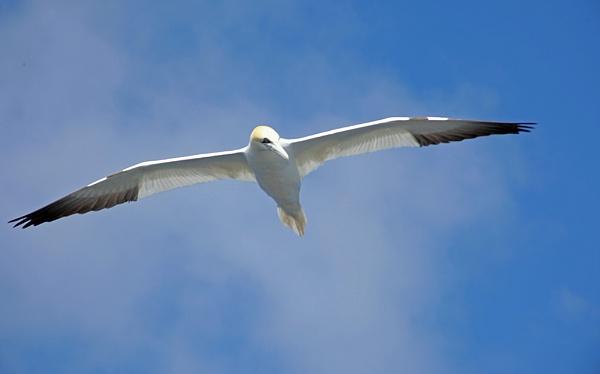 Gannet on the wing by adrian_w