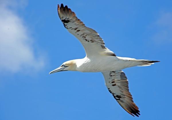 gannet 3 by adrian_w