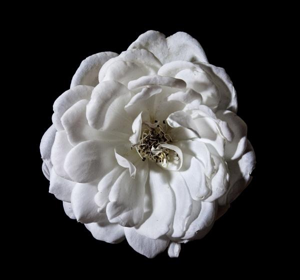 White Rose by Dado