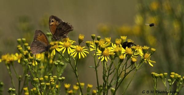 Bee  Fly  Butterflies by Growmore