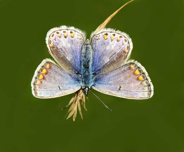 Female Blue by 64Peteschoice