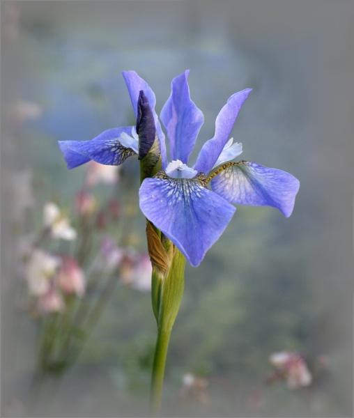 Iris sibirica by EAS