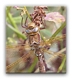 Brown Hawker (Male)