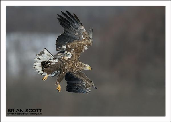 Haliaeetus Albicilla by Brian_Scott