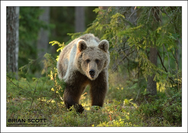 Forest Bear by Brian_Scott