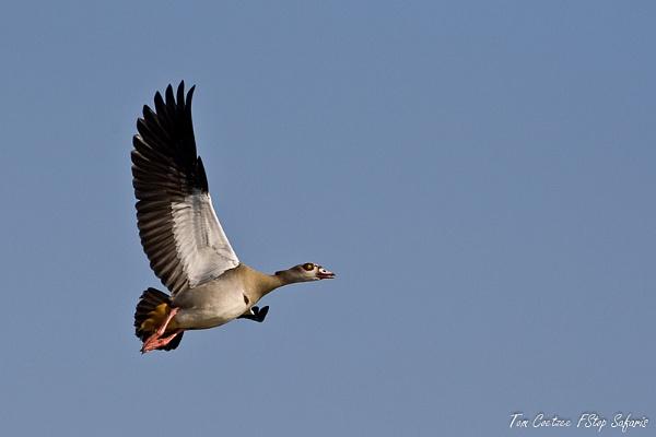 Flying goose by TomCoetzee