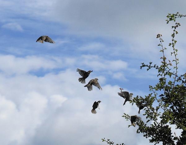 sparrow flight by sirhcelah100