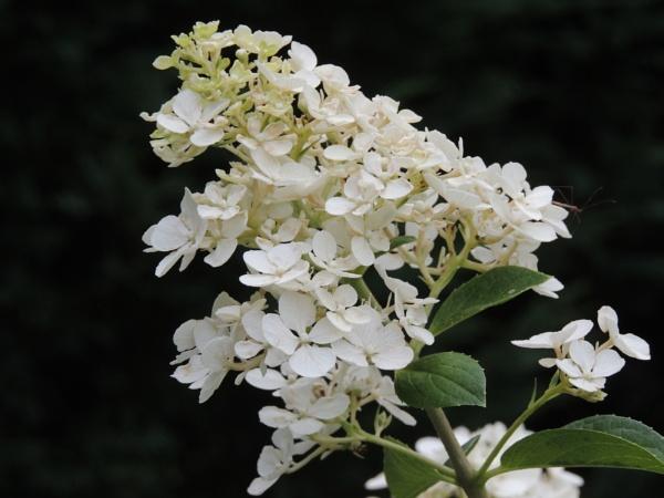 White Blossoms by Jdalton23