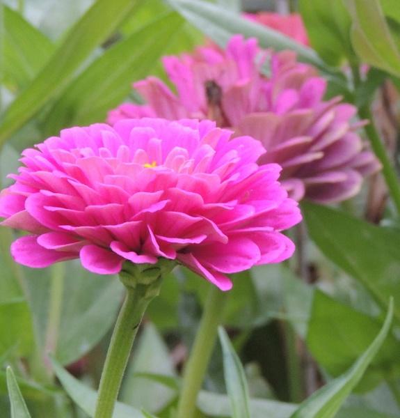 Pink Flowers by Jdalton23