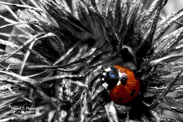 Ladybird by ManCorMac