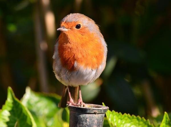 Spring Robin by Shedboy