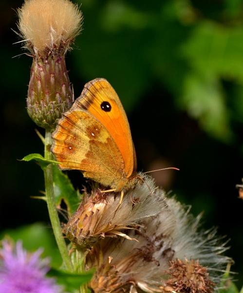 Hatfield moors Butterfly by Shedboy