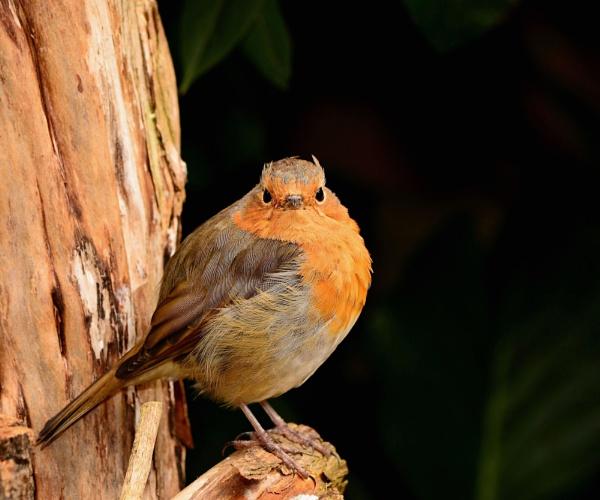 Summer Robin by Shedboy