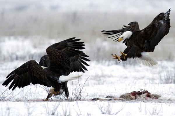 Bald Eagles by darmer