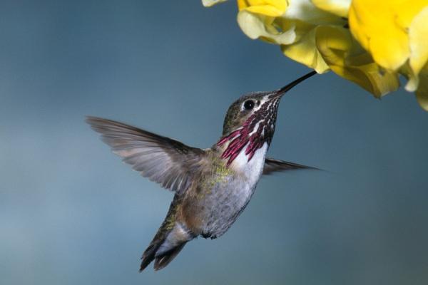 Calliope Hummingbird by darmer