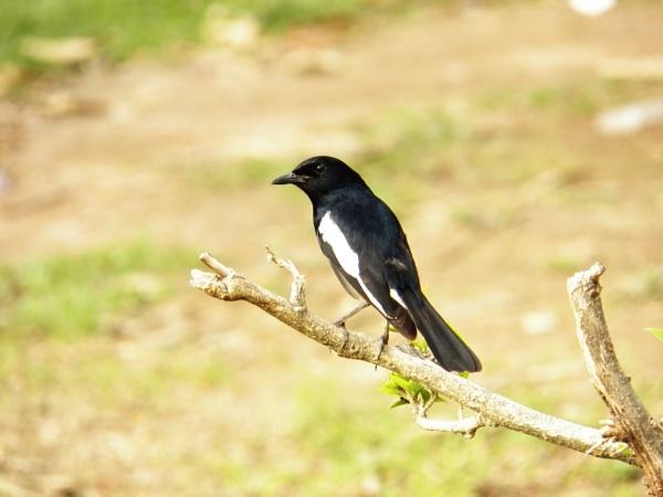 Oriental Magpie Robin by Priti