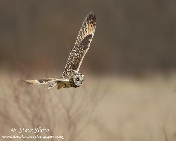 Inflight short eared owl by Steve_S