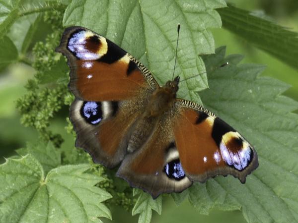 Peacock butterfly by Ian Pratt