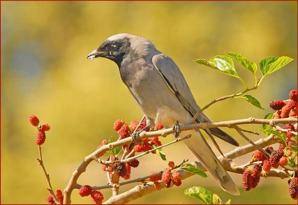 "\""Black-faced Cuckoo-shrike\"" by goso"