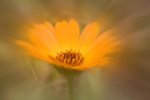 Marigold by KeithMac
