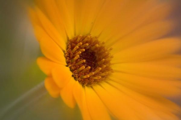 Marigold 1 by KeithMac