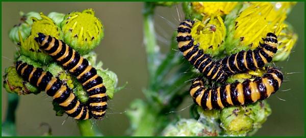Caterpillars of Cinnabar Moth. by Badgerfred