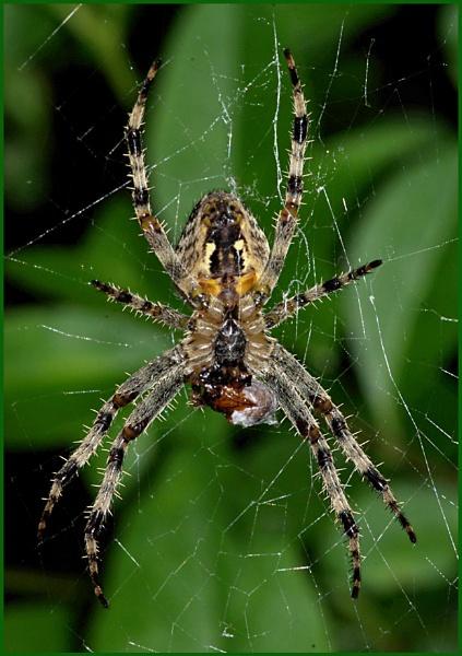 Garden Spider 01. by Badgerfred