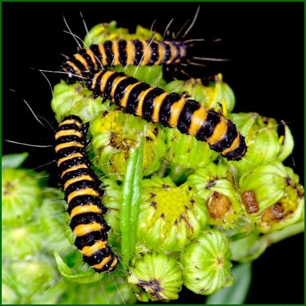Caterpillars of Cinnabar Moth 02. by Badgerfred