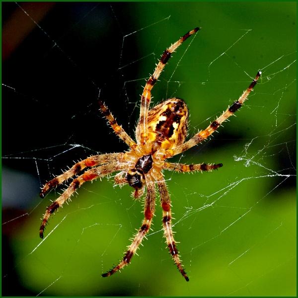 Garden Spider 02. by Badgerfred