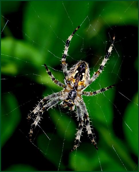 Garden Spider 03. by Badgerfred