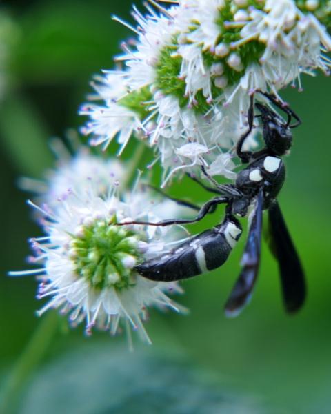 Wasp by HectorRivera