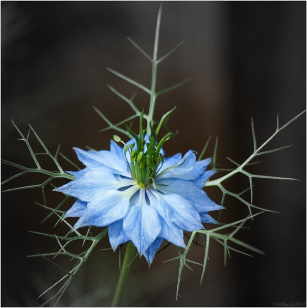 Love in a Mist II