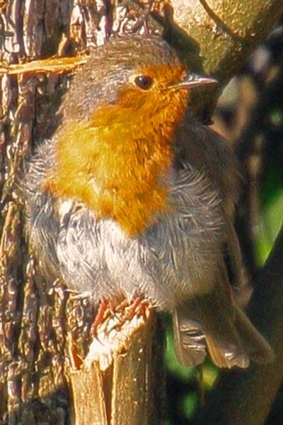Scruffy looking Robin by cyprytinca