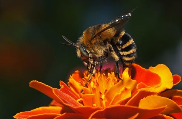 Bee on marigold by nutmeg66